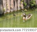 duck, spot-billed duck, bird 77259937