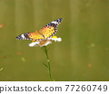 butterfly, butterflies, bloom 77260749