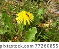 dandelion, bee, hive bee 77260855