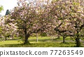 重瓣櫻樹 牡丹櫻 重瓣寒緋櫻 77263549