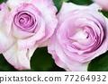 紫玫瑰 77264932