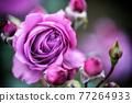 紫玫瑰 77264933