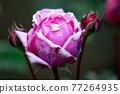紫玫瑰 77264935