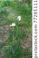 花朵 花 花卉 77265111
