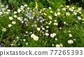 花朵 花 花卉 77265393