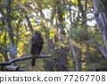 bird, birds, fowls 77267708