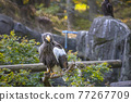 Sea Eagle, kamchatkan sea eagle, stellar's sea eagle 77267709