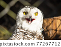 owl, bird, birds 77267712