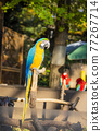 blue-and-yellow macaw, bird, birds 77267714