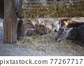 japanese deer, japanese sika, sika deer 77267717
