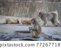 japanese monkey, monkey, monkeys 77267718