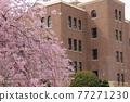 나고야시 공회당과 벚꽃 77271230
