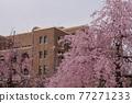 나고야시 공회당과 벚꽃 77271233
