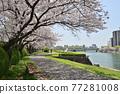 row of cherry trees, cherry blossom, cherry tree 77281008