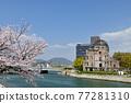 atomic bomb dome, cherry blossom, full bloom 77281310