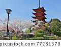 miyajima, itsukushima shrine, cherry blossom 77281379