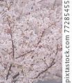 만개 한 벚꽃 나무 77285455