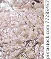 만개 한 벚꽃 나무 77285457
