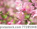 사쿠라 꽃 업 77285948