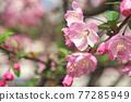 사쿠라 꽃 업 77285949
