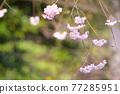사쿠라 꽃 업 77285951