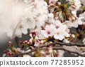 사쿠라 꽃 업 77285952