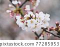 사쿠라 꽃 업 77285953