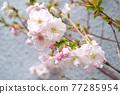 사쿠라 꽃 업 77285954