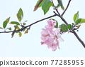 사쿠라 꽃 업 77285955