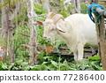 雪羊 山羊 動物 77286400