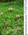 Grass 77287550