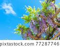 藍天和紫藤格子 77287746