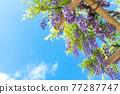 藍天和紫藤格子 77287747
