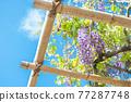 藍天和紫藤格子 77287748