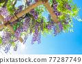 藍天和紫藤格子 77287749