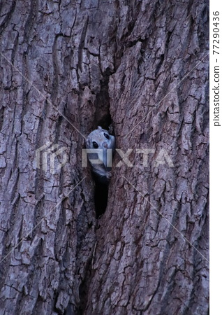 Flying squirrel vertical 215 77290436