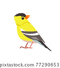 American goldfinch. Yellow bird in the finch family Cartoon flat beautiful character of ornithology, vector illustration isolated on white background 77290653