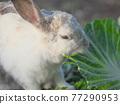 양배추를 먹는 토끼 77290953