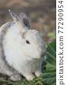 양배추를 먹는 토끼 77290954