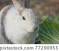 양배추를 먹는 토끼 77290955