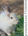 양배추를 먹는 토끼 77290956