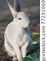 양배추를 먹는 토끼 77291069