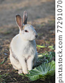 양배추를 먹는 토끼 77291070