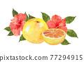 水彩畫 水果 葡萄柚 77294915