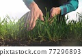 farmer hand. man farmer a working in the field inspects the crop wheat germ eco industry natural a farming. business agriculture eco concept. farmer hand touches crop green wheat germ agriculture 77296893