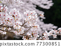 cherry blossom, spring, flower 77300851