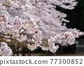 cherry blossom, spring, flower 77300852