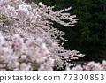 cherry blossom, spring, flower 77300853