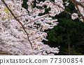 cherry blossom, spring, flower 77300854