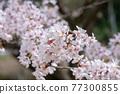 cherry blossom, spring, flower 77300855